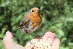 Bird in the Hand. royalty free stock images