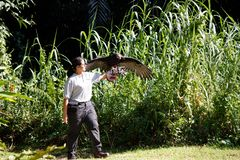 Bird Handler with a hooded vulture at Jurong Bird Park. At the Kings of the Skies Show featuring birds of prey at Jurong Bird Park, Singapore. The hooded royalty free stock images
