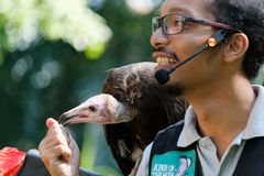 Bird Handler with a hooded vulture at Jurong Bird Park. At the Kings of the Skies Show featuring birds of prey at Jurong Bird Park, Singapore. The hooded royalty free stock photo