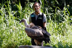 Bird Handler with a hooded vulture at Jurong Bird Park. At the Kings of the Skies Show featuring birds of prey at Jurong Bird Park, Singapore. The hooded royalty free stock image