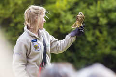A Bird Handler with a Merlin Falcon Stock Images