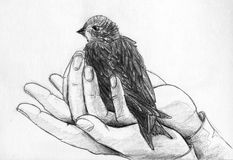 Bird in hands. A chick of a swift in helping human nands. Pencil sketch Stock Photography