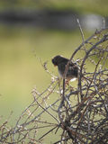 Bird hanging out on a tumbleweed Royalty Free Stock Images