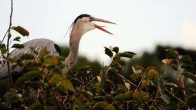Bird: Happy Great Blue Heron Royalty Free Stock Photo