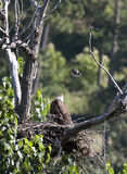 Bird harasses eagle. An eastern kingbird swoops in to harass a bald eagle in its nest Stock Images