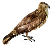 Bird a harrier is a bog Royalty Free Stock Photography