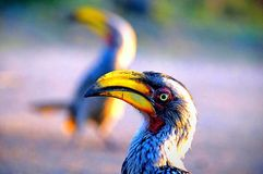 Hornbill close up. This bird has alot of personality Royalty Free Stock Photo
