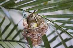 Bird hatching egg. Humming bird hatching her egg in nest in branch of leaves on a plant and guarding the nest from a view in northern australia Stock Image