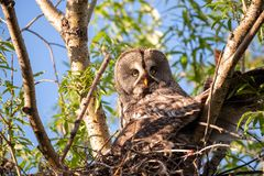 A bird hatching eggs in natural habitat. Portrait of bearded owl strip nebulosa on the nest high in the trees. Summertime. Animal world. A bird hatching eggs in stock photo