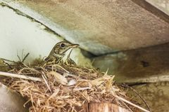 Bird is hatching eggs in nest. Bird singing thrush hatching eggs eggs in a nest under the roof of a village house, close-up Royalty Free Stock Image