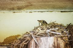 Bird is hatching eggs in nest. Bird singing thrush hatching eggs eggs in a nest under the roof of a village house, close-up Stock Photos