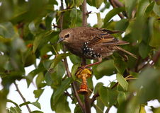 Bird. Have a lunch on pear tree Stock Images