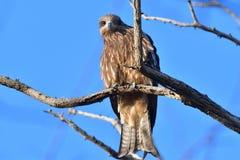 Bird, Hawk, Beak, Fauna stock photography