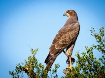 Bird, Hawk, Ecosystem, Falcon Royalty Free Stock Image