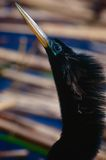 Bird head and beak. A closeup view of the head and long, pointed beak of a black Anhinga bird, sometimes called a Snakebird.  Species:  A. anhinga Stock Photography