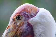Bird head detail Royalty Free Stock Photography