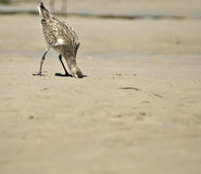Bird head in the sand  Royalty Free Stock Image