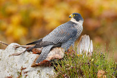 Bird hehaviour, falcon catch big bird. Peregrine Falcon feeding kill pheasant on the rock with yellow and orange autumn background Royalty Free Stock Images