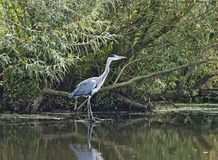 Bird heron Ardea herodias Stock Photos