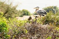 Bird: Heron & Chicks in Their Nest Stock Image