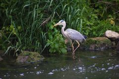 Heron,luxembourg. Bird heron pays du luxembourg Royalty Free Stock Photos