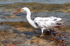 Bird with heron. Small fish in the beak in the sea marine fishes Royalty Free Stock Photography