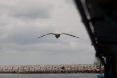 Bird. Herring Gull royalty free stock images