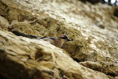 Bird hiding in rocks Royalty Free Stock Photo