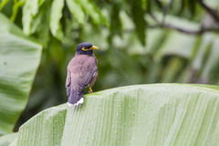 Bird hill mynah sits on a green palm leaf , Gracula religiosa , the most intelligent in the world Royalty Free Stock Images