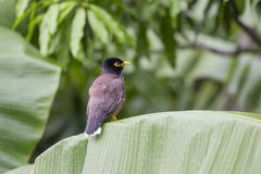 Bird hill mynah sits on a green palm leaf , Gracula religiosa , the most intelligent in the world Royalty Free Stock Photography