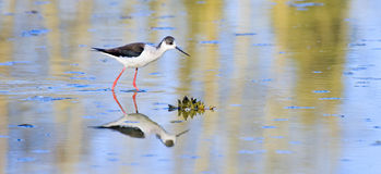 Bird of himantopus species. In water with reflection, Italy royalty free stock photos