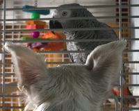 Bird in his sights. Family dog taking aim at an African gray parrot royalty free stock photography