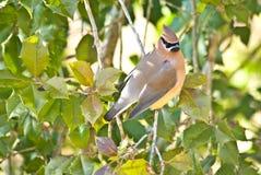 Bird in a Holly Tree royalty free stock photo