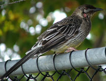 Bird - Honeyeater. Honeyyeater sits on fence royalty free stock photo
