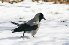 Bird hooded crow strong paces around the deep white snow Stock Photos
