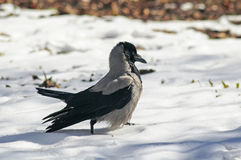 Bird hooded crow strong paces around the deep white snow Royalty Free Stock Photo