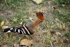 Bird hoopoe. On the grass looking for food. Trip to India green grass, background, small colored bird with tip of feathers on head. Picnic on a meadow, friends Royalty Free Stock Image