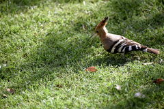 Bird hoopoe. On the grass looking for food. Trip to India green grass, background, small colored bird with tip of feathers on head. Picnic on a meadow, friends Royalty Free Stock Photo