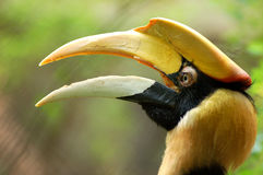 Bird Hornbills stock image