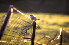 Bird on a Horse pasture fence. Backlit farm bird poised on a the fence surrounding a horse pasture Stock Images