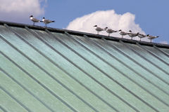 Bird on a hot tin roof. A flock of seagulls rests on a tin roof on a sunny day Stock Photo