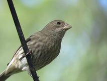 Bird, House Finch, Beak, Fauna Stock Photos