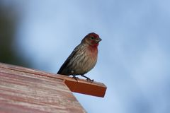 Bird, House Finch, Finch, Beak Royalty Free Stock Photography