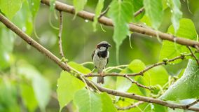 Bird (House Sparrow) on tree in a nature wild. Bird (House Sparrow, Passer domesticus) males brighter black, white, and brown markings color perched on a tree in Stock Photos