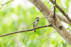 Bird (House Sparrow) on tree in a nature wild. Bird (House Sparrow, Passer domesticus) males brighter black, white, and brown markings color perched on a tree in Royalty Free Stock Photography