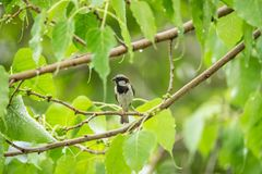 Bird (House Sparrow) on tree in a nature wild. Bird (House Sparrow, Passer domesticus) males brighter black, white, and brown markings color perched on a tree in Stock Photography