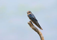 Bird (House Swift) , Thailand Stock Photos
