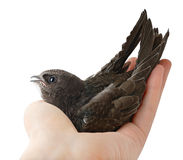 Bird in human hand Stock Photo