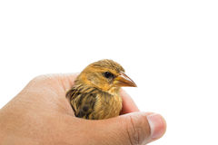Bird  in human hand. Isolated on white Stock Images