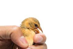 Bird  in human hand Stock Photography